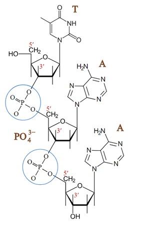 Diferencia tanto estructural como funcionalmente entre los enlaces fosfodiester y los puentes de hidrogeno por favor:(